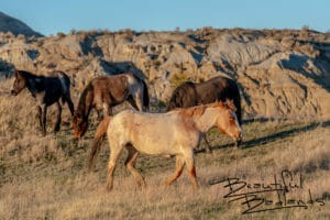 Wild Horses of Theodore Roosevelt National Park, North Dakota