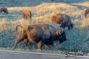 Bison Graze Along the Scenic Loop in Theodore Roosevelt National Park