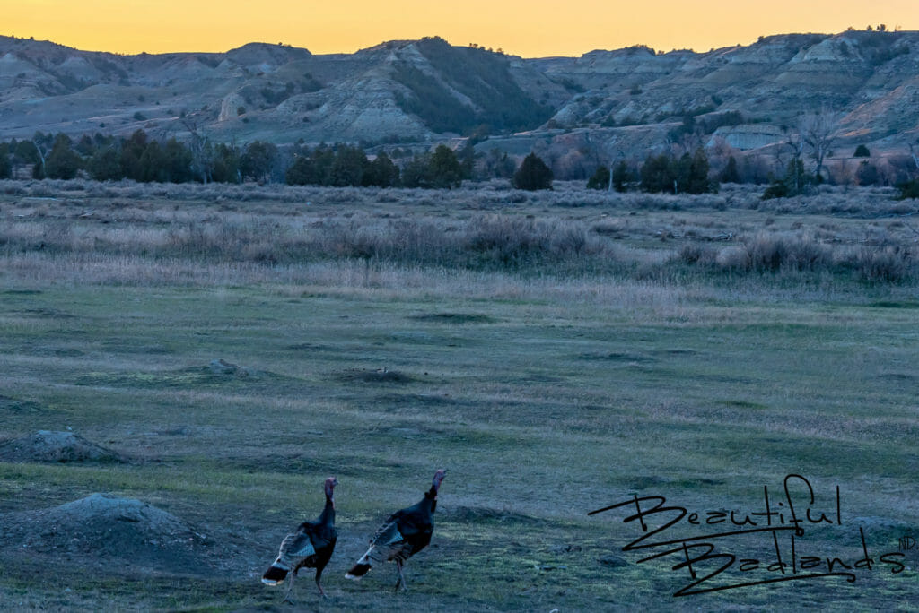 Sunset On the Turkeys and Prairie Dogs in North Dakota