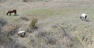 Wild Horses, Not Far Into Theodore Roosevelt National Park in North Dakota