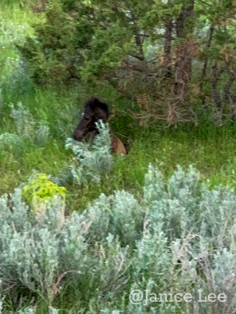 Green sage and Beautiful Wild Horse at Theodore Roosevelt National Park, by Janice Lee