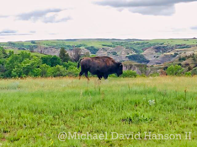 Bison in Green Grasslands at north unit of Theodore Roosevelt National Park, by Michael David Hanson II