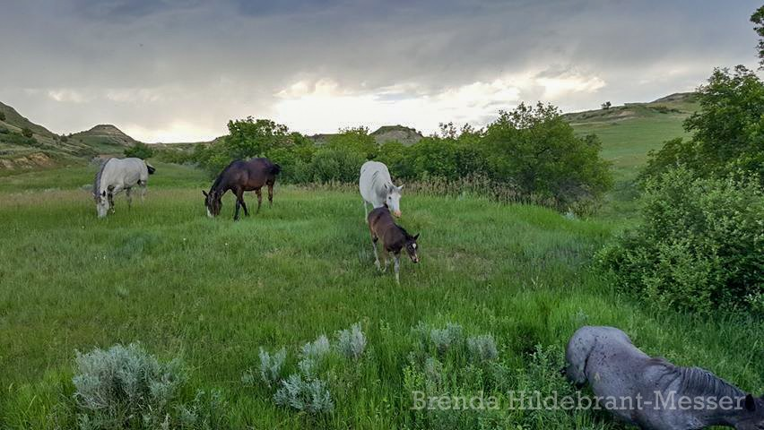 Wild Horses Grazing in Theodore Roosevelt National Park as Rain Approaches