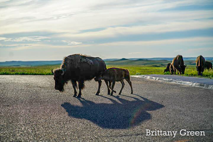 Mom and Calf Bison at Theodore Roosevelt National Park, South Unit, By Brittany Green