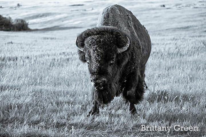 Big Daddy Bison at Theodore Roosevelt National Park, South Unit. By Brittany Green