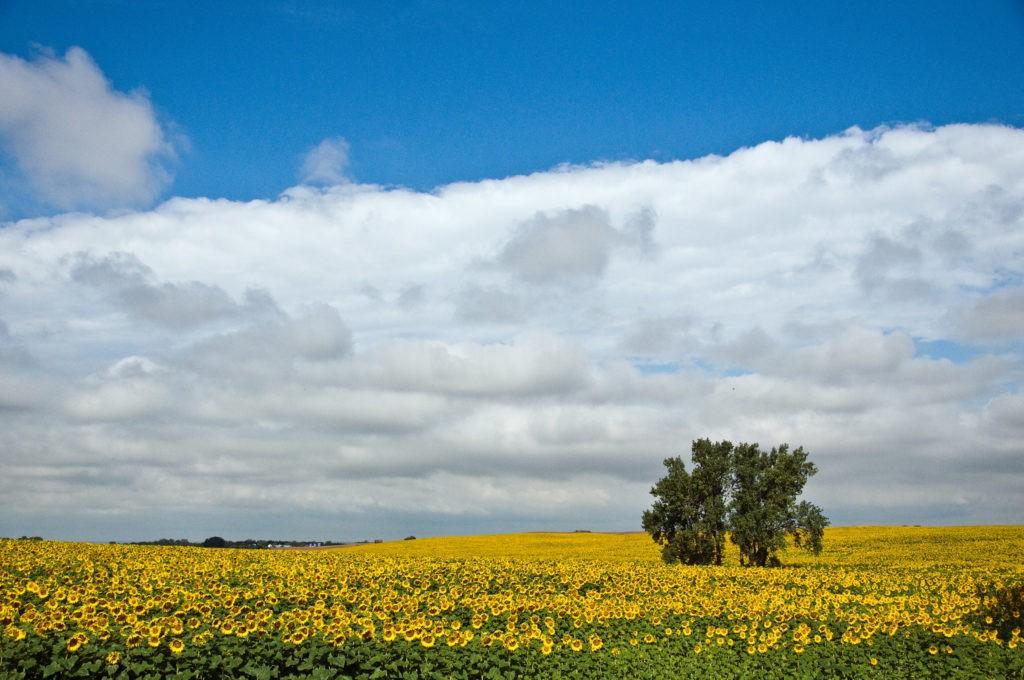 Tree in Sunflower Field and North Dakota Skies
