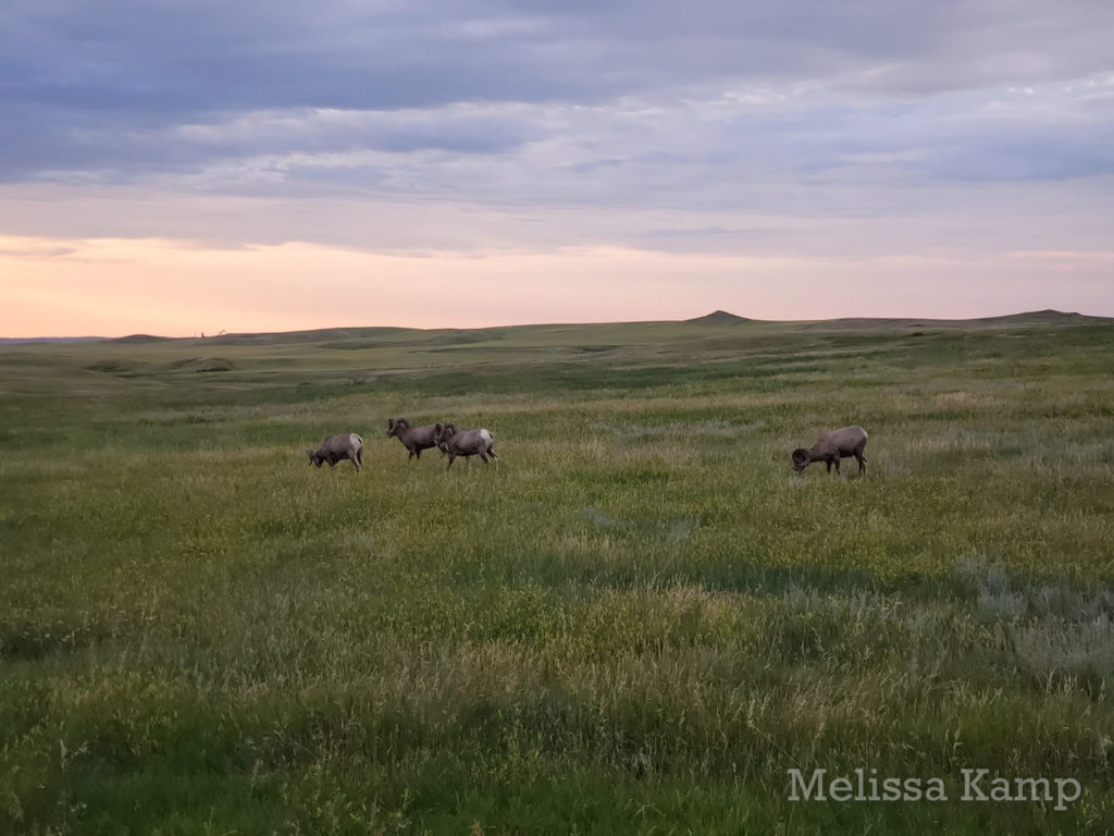 Big Horn Sheep Grazing on the Grasslands, Theodore Roosevelt National Park, North Unit. Photo by Melissa Kamp