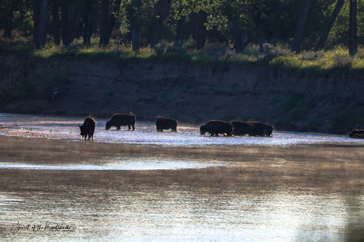 Bison at Theodore Roosevelt National Park, by Amy White