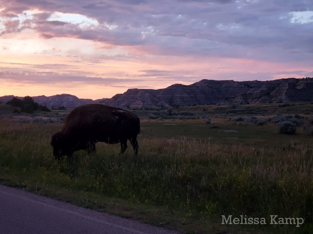 Bison Grazing at Sunset in the North Unit, Theodore Roosevelt National Park. Photo by Melissa Kamp
