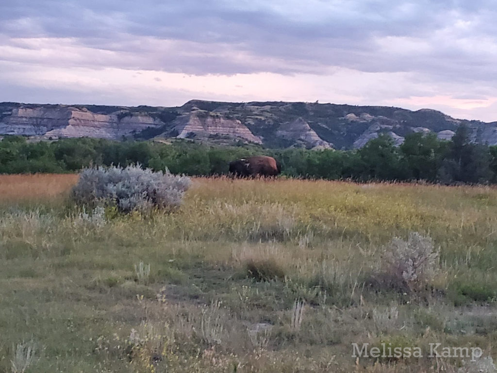 Bison of Theodore Roosevelt National Park, North Unit. Photo by Melissa Kamp