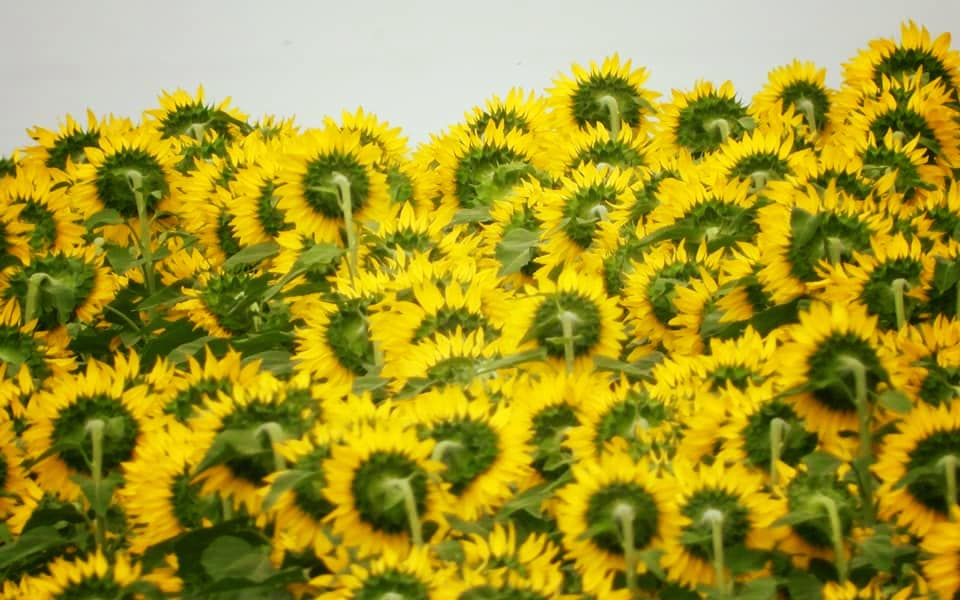 Sunflower Yellow and Green, by Connie Austin Weakly