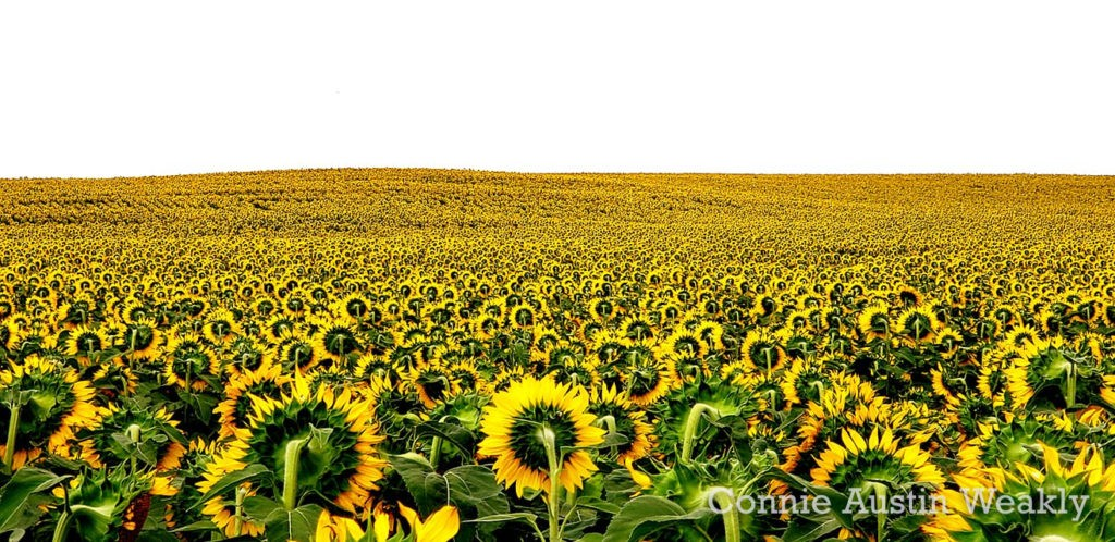 Sunflowers to the Horizon, by Connie Austin Weakly