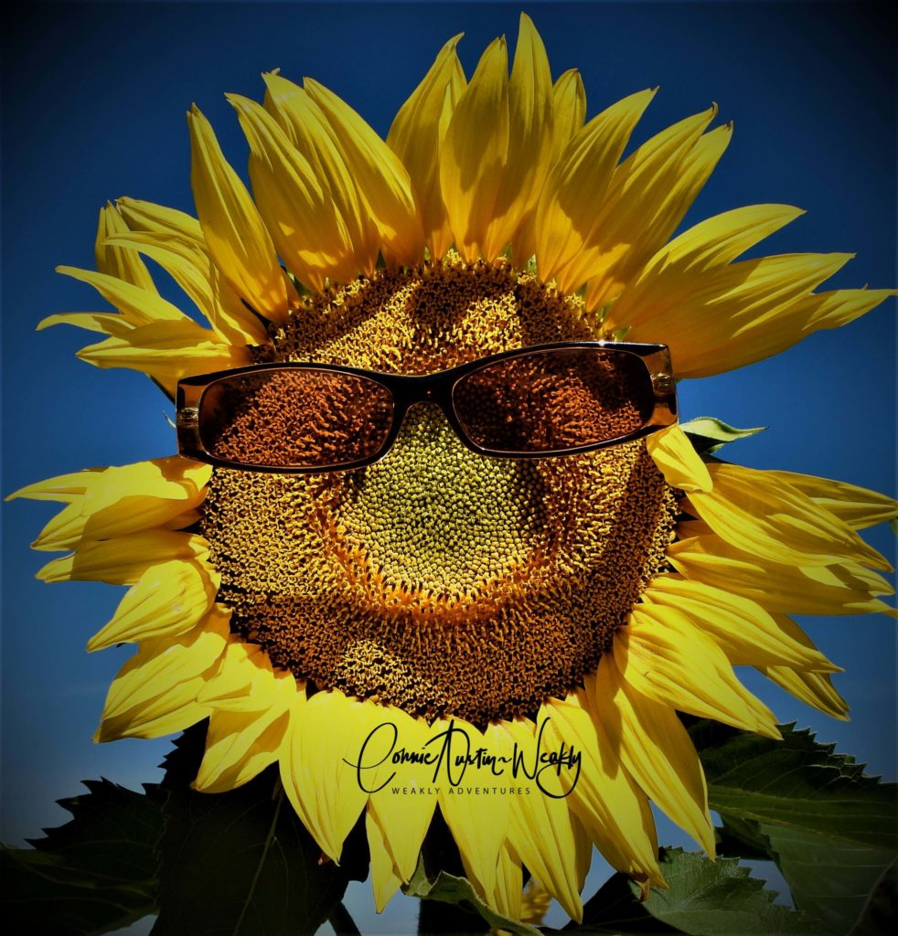 Cool Sunflower! by Connie Austin Weakly. September 2019