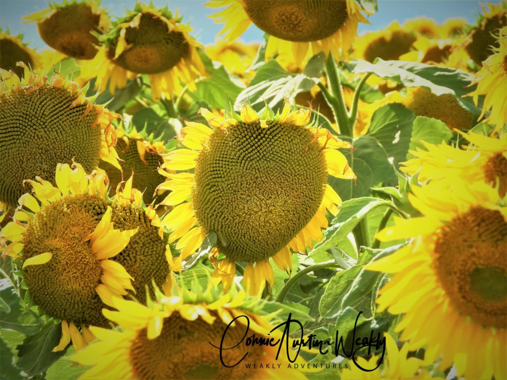 There's a Heart in Those Sunflowers, by Connie Austin Weakly September 2019