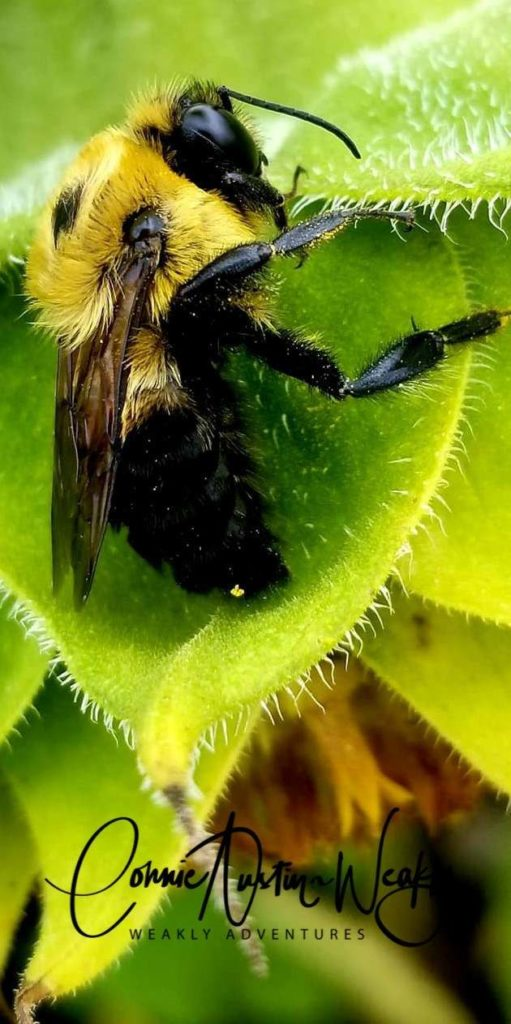 The Bee is Loving' That Sunflower! by Connie Austin Weakly. September 2019