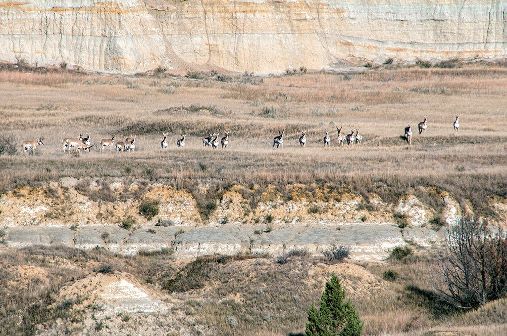 antelope in the badlands