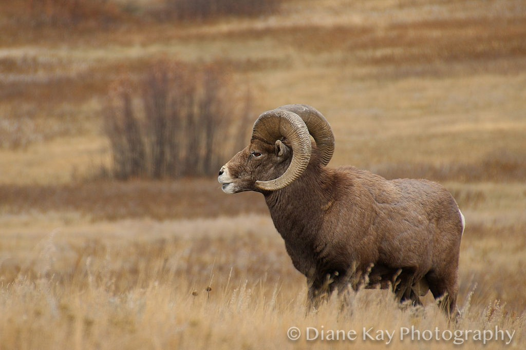 Magnificent Bighorn Sheep Ram in the Badlands of North Dakota