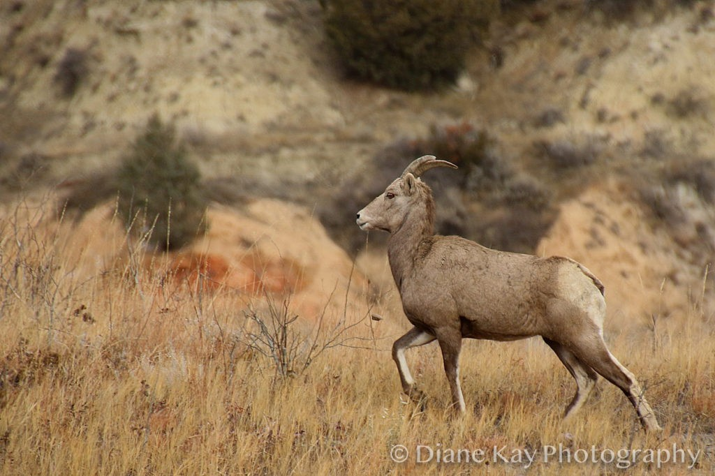 Big Horn Ewe Prances into the Badlands of North Dakota