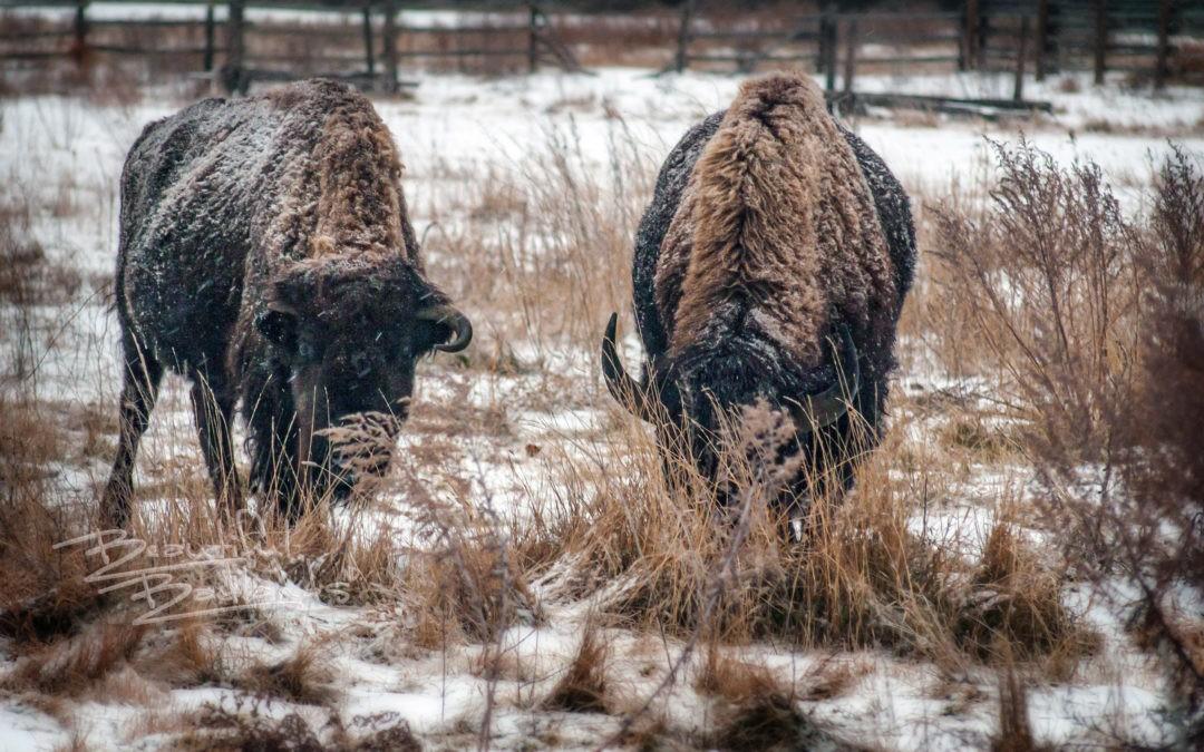 bison graze snow peaceful valley ranch