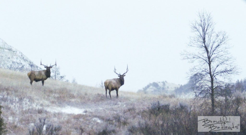 wildlife at dusk, two elk stopped grazing to check us out on our wintery drive through the south unit of Theodore Roosevelt National Park, North Dakota.