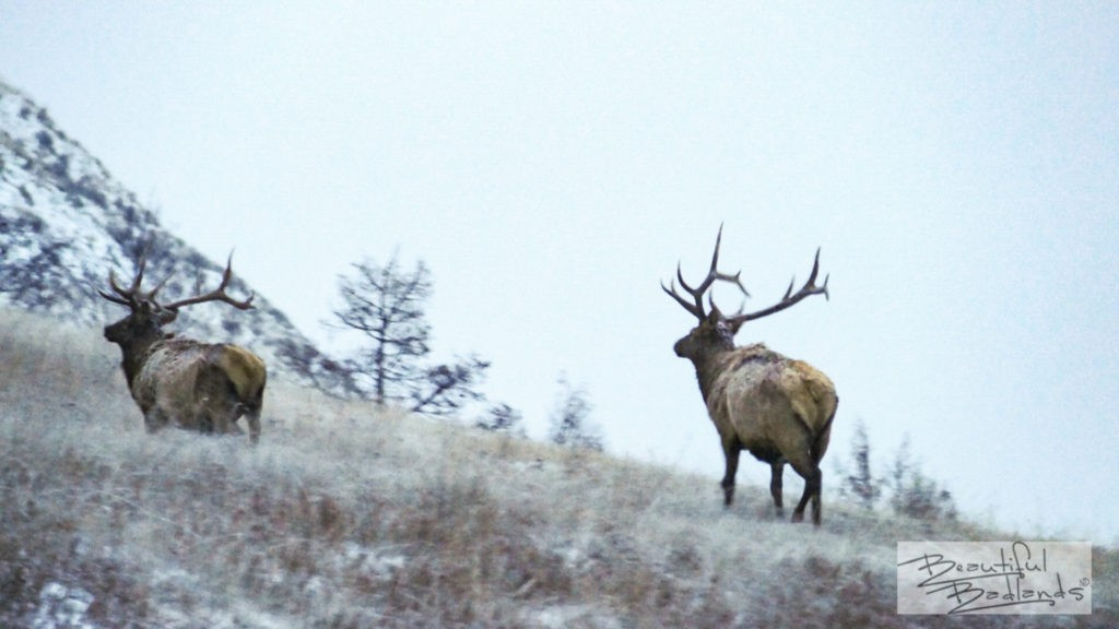 Two elk make their way up a hill late in the daylight hours, wildlife at dusk.